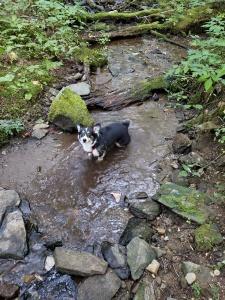 Beans the Hiking corgi playing in a mountain creek.