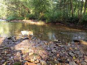 A Corgi in a creek, lapping up water
